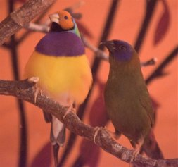 Gouldian and Blue Faced Parrot Finch